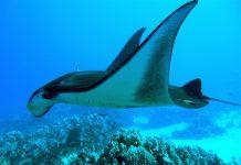 Manta Ray Scuba Diving