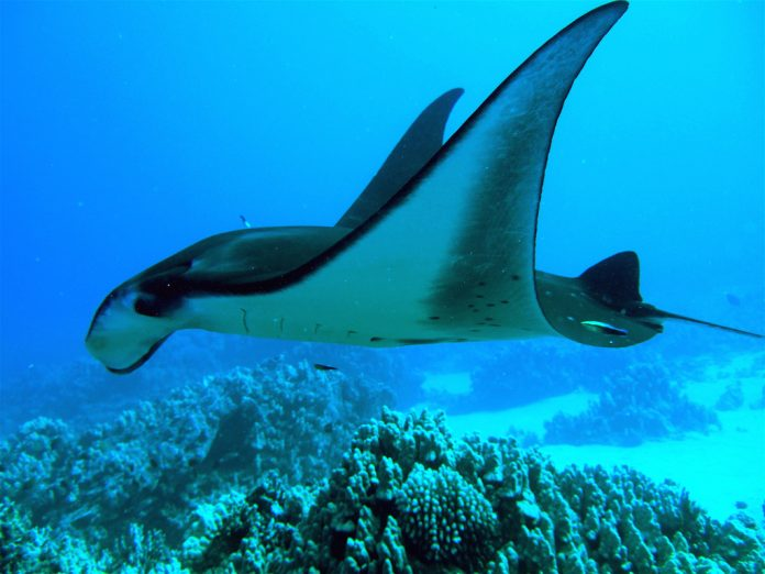 Manta Ray Scuba Diving